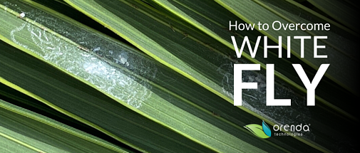 How to Overcome Whitefly