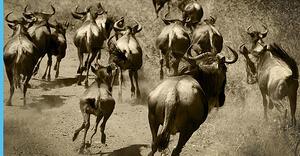 bigstock-Wildebeest-migration-23289254.jpg