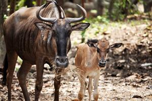 wildebeest-family