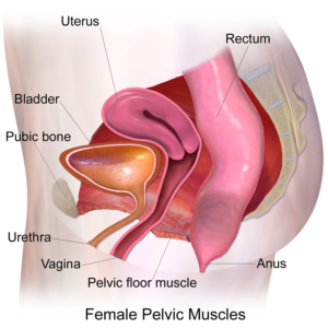 What is a pelvic floor & why should I worry about strengthening it?