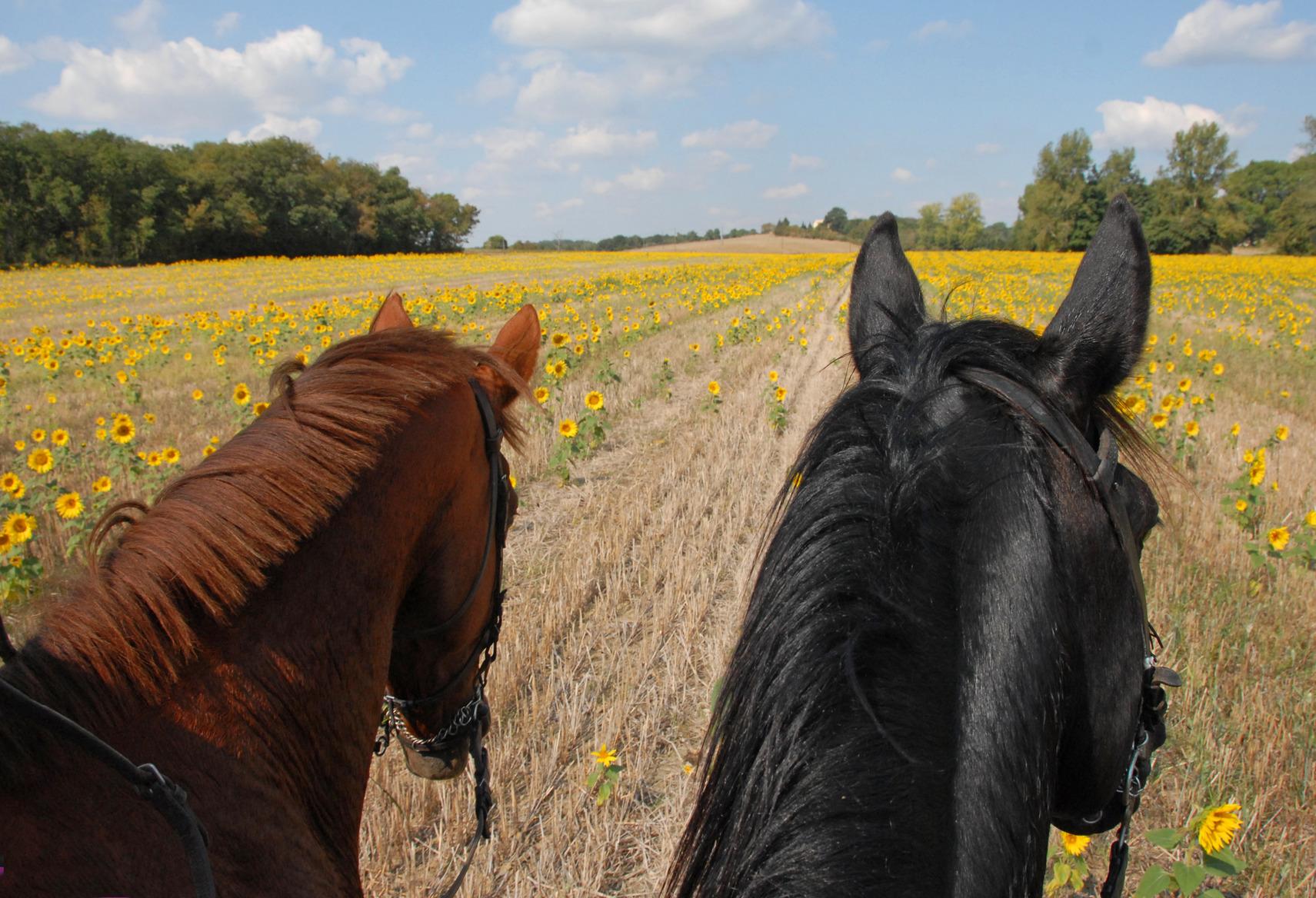 photodune-1145166-horseback-riding-in-the-sunflowers-m
