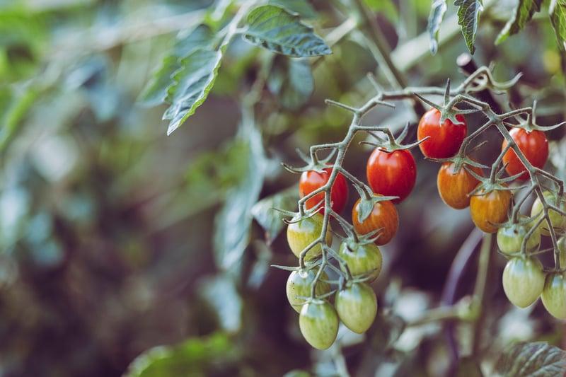 Voldoet uw tomatenkwekerij aan de hygiënevoorschriften?