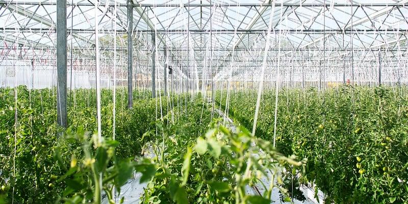 Hygiënemaatregelen in de kas: voedselproductie versus sierteelt