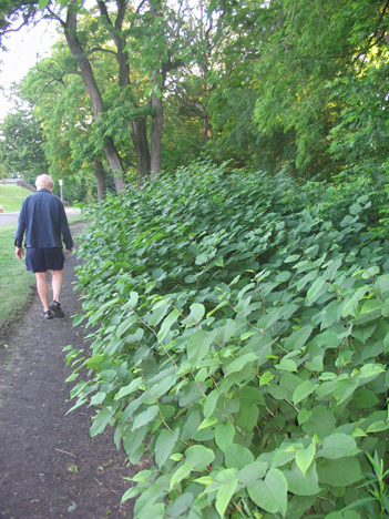 Stands of Japanese knotweed like this one in Highland Park grow quickly and are difficult to eradicate.
