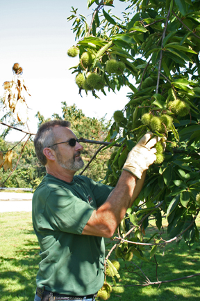 Phil harvests chestnuts at the Highland Park orchard.