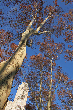 The London Plane trees at Schenley Plaza have defined the space for almost a century.