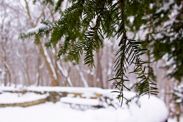 Frick Park HTL winter needle leaves pine trees green snow white dried branches (Melissa McMasters) (2)-1