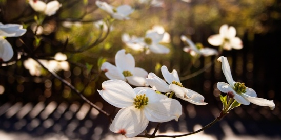 Image of dogwood flowers blooming
