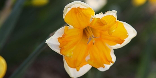 Image of a daffodil