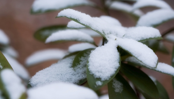 Image of a rhododendron covered in snow