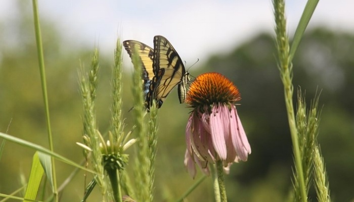 Image of an eastern tiger butterfly and coneflower