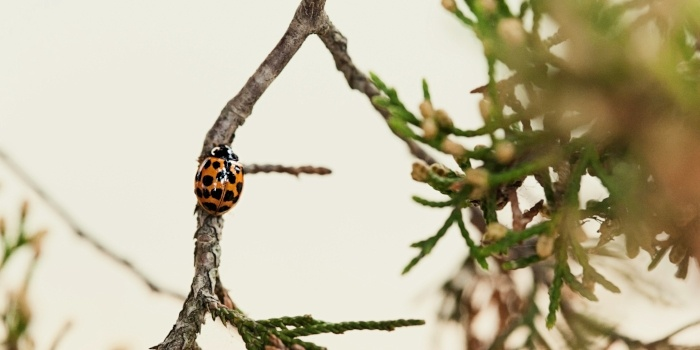 Image of a ladybug on a hemlock branch