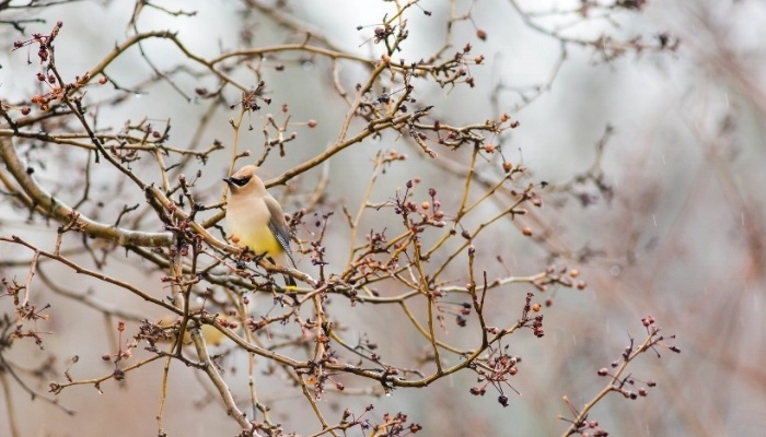Image of a cedar waxwing. Photo by Melissa McMasters
