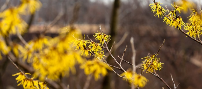 Image of witch hazel by Melissa McMasters