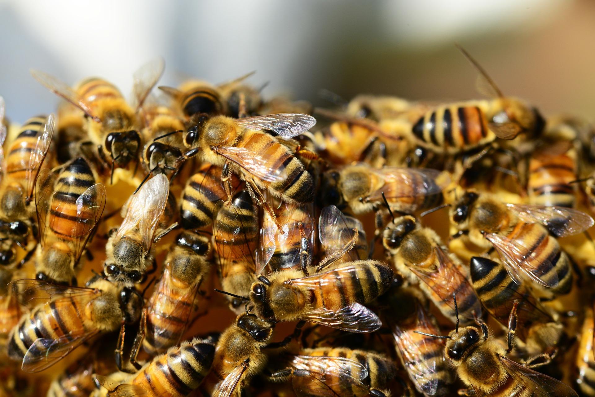 honey-bees-326334_1920.jpg