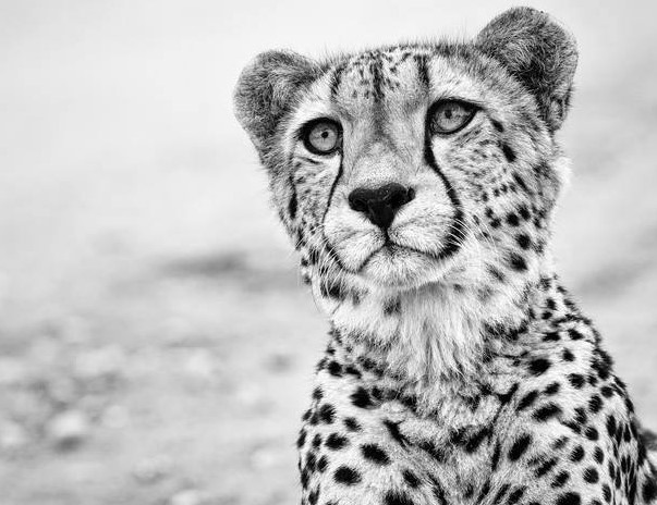 Cheetah conservation Fund Belgium 1