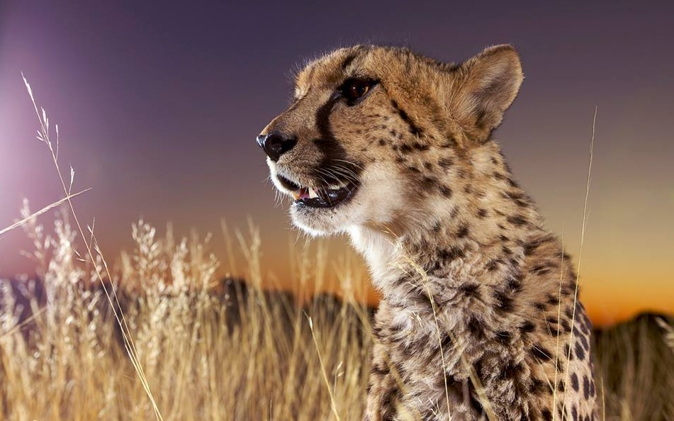 Cheetah conservation fund Belgium 8