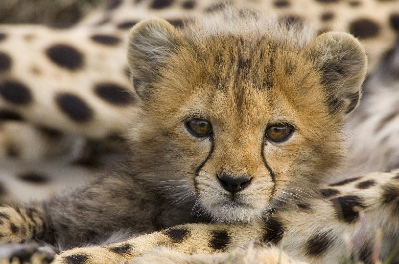 Cheetah conservation fund Belgium 6