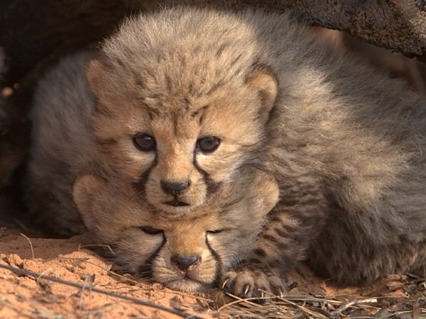 Cheetah conservation fund Belgium 5