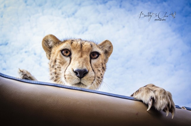 Cheetah conservation fund Belgium 4
