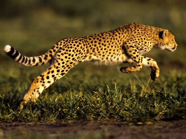 cheetah conservation fund Belgium 2
