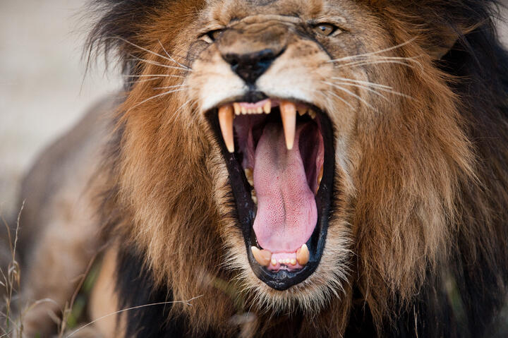 angry-roaring-lion-PB7XRA4