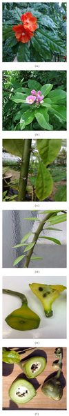 Photographs-of-different-plant-parts-of-P-bleo-and-P-grandifolia-a-Flower-of-P_small.png
