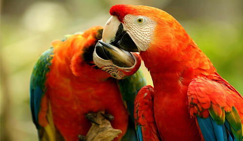 A&K Red and Green Macaws