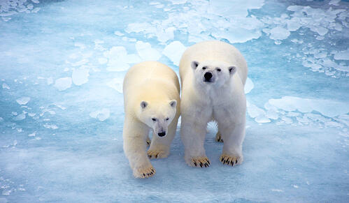 Polar Bears Standing on Ice