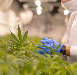 nl-marijuana