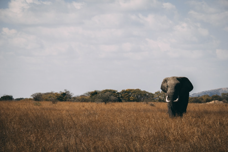 An elephant standing in an open field.