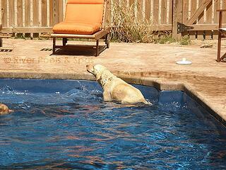 pool_dog2.jpg