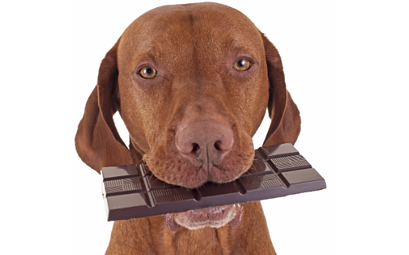 Chocolate Toxicity (why can't dogs eat chocolate?)