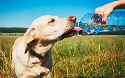 Heat Stress in Dogs (what it is and how to treat it)