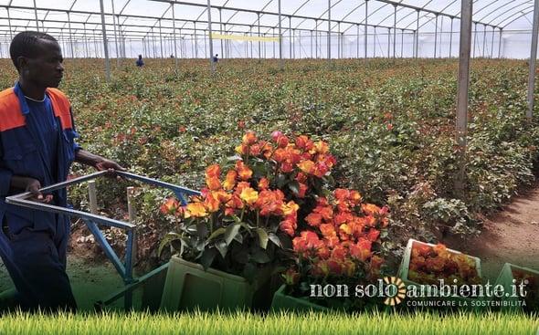 L'impatto ambientale delle rose rosse