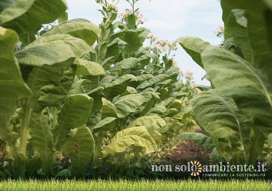 Qual è l'impatto del tabacco su chi lo coltiva?