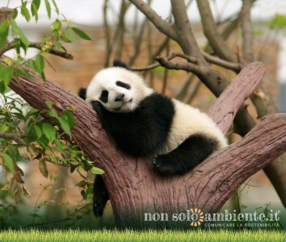 Il panda gigante è davvero al sicuro dall'estinzione?