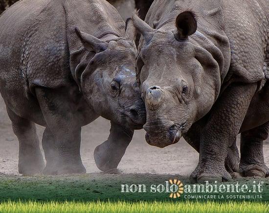 Rhino bond, il bond rinoceronte per tutelare la specie a rischio di estinzione