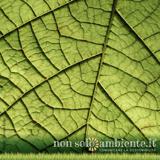 L'ispessimento delle foglie interferisce con il processo di assorbimento di carbonio: ecco la ricerca