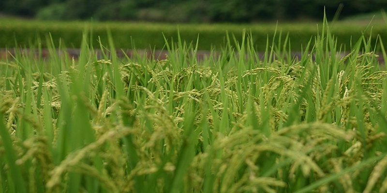 Ecostorie di giovani innovatori: i mattoni di riso di Bisman Deu