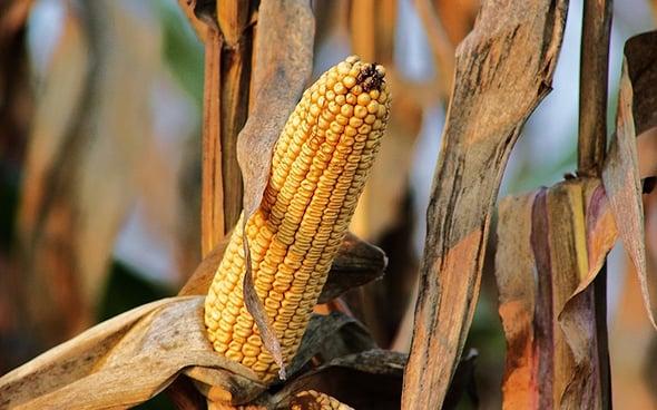Organismi geneticamente modificati in agricoltura: in Europa c'è chi dice no