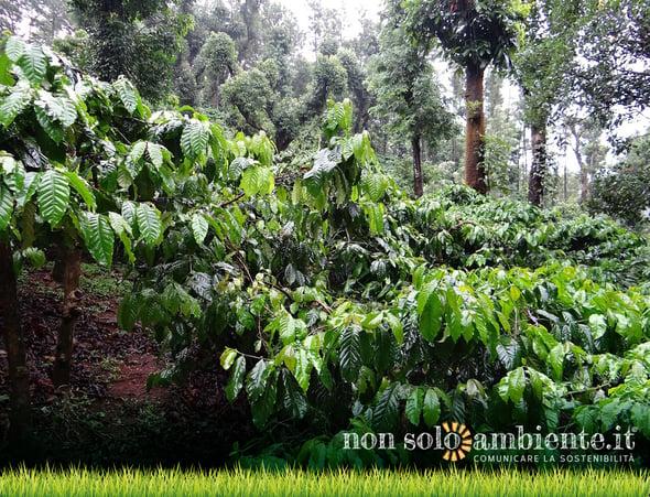 I cambiamenti del clima minacciano il caffè: più della metà delle specie a rischio estinzione
