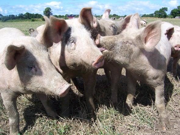 Riciclo alimentare: la svolta ecologica nell'allevamento dei suini