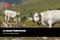 La Razza Piemontese: storia e caratteristiche della Fassona