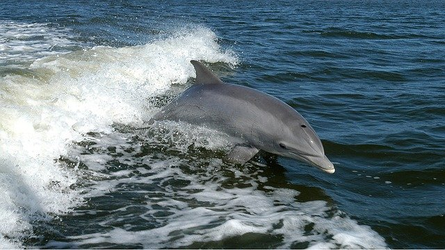 dolphin-1167996_640