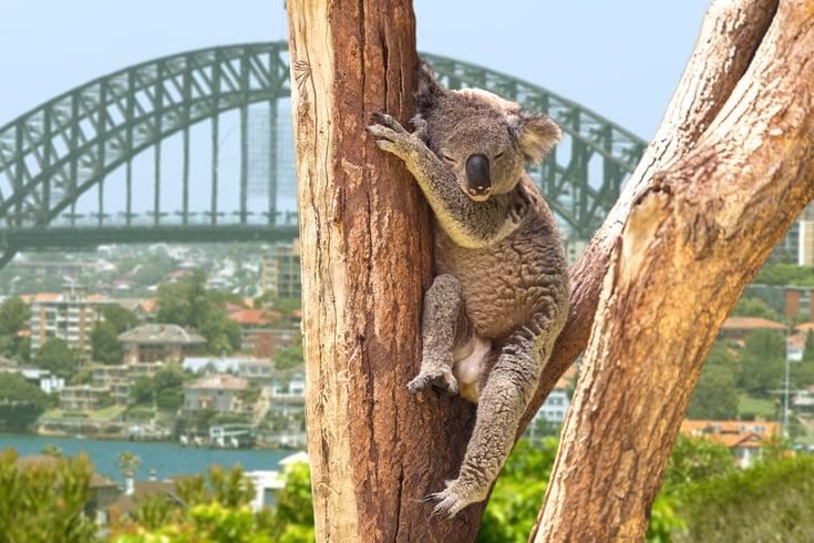 Cute Koala in Sydney, Australia