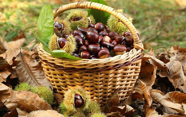 DHvillas-Around the woods harvesting chestnuts