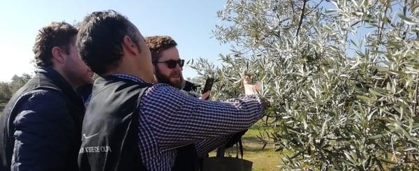 Olive tree apreciation