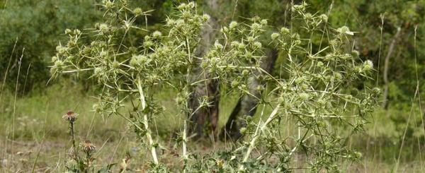 disease-olive-tree-verticillium-dahliae