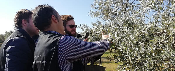 Objetivos en la poda del olivo
